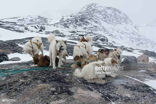 Group of harnessed Greenland huskies in snow covered landscape, Ilulissat, Greenland