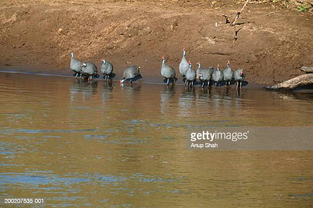 group of helmeted guineafowl (numida meleagris) standing near lake, masai mara, kenya - guinea fowl stock pictures, royalty-free photos & images