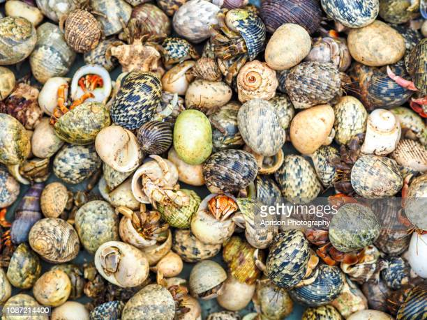 group of hermit crab - hermit crab stock pictures, royalty-free photos & images