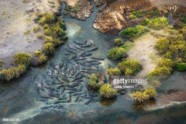 a group of hippopotamus from above, serengeti national park. - east africa stock pictures, royalty-free photos & images