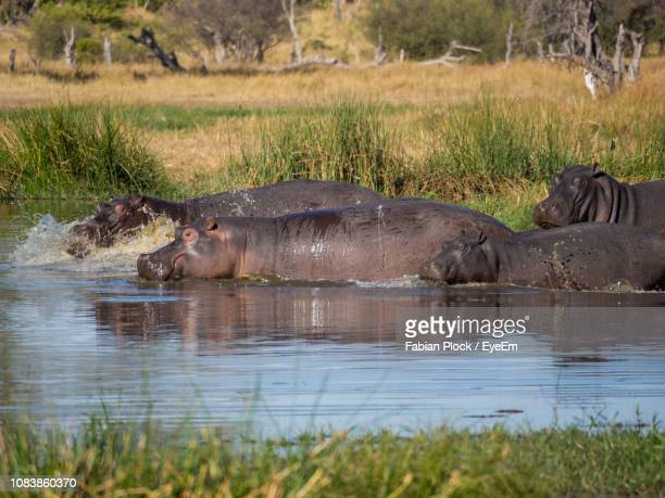 group of hippopotamus in water, moremi game reserve, botswana - moremi wildlife reserve stock photos and pictures