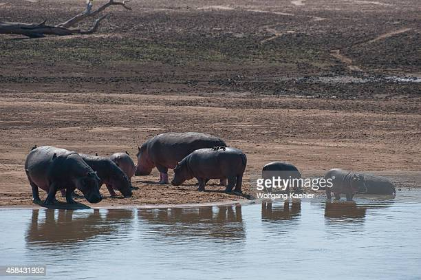 A group of Hippopotamus on the shore of the Luangwa River in South Luangwa National Park in eastern Zambia