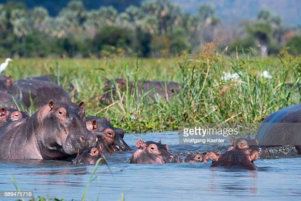 A group of Hippopotamus with babies along the shore of the Shire River in Liwonde National Park Malawi