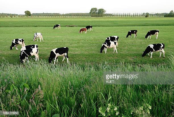 group of holstein cows in a meadow - milk pack stock photos and pictures