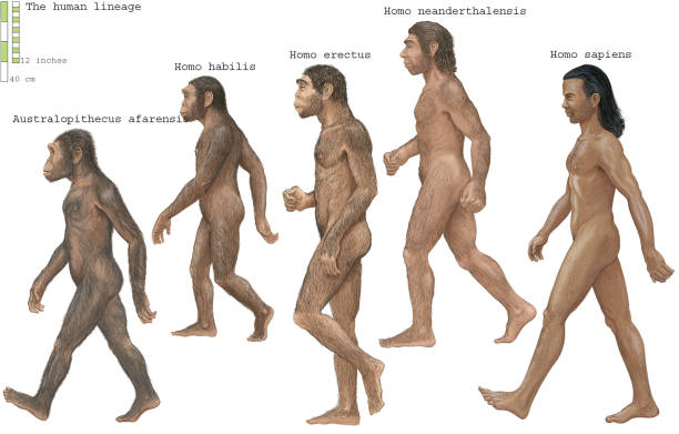 https://media.gettyimages.com/photos/group-of-homosapiens-australopithecus-afarensis-homo-erectus-homo-picture-id641457258?k=6&m=641457258&s=612x612&w=0&h=pIVQssR0A_fQynujwdP1NKvXqRhOGUgktPrfLHAAZYo=
