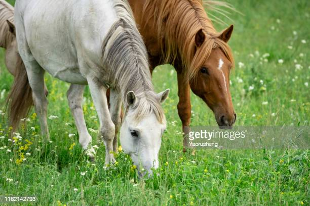 group of horse grazing grass in pasture - gras stock pictures, royalty-free photos & images
