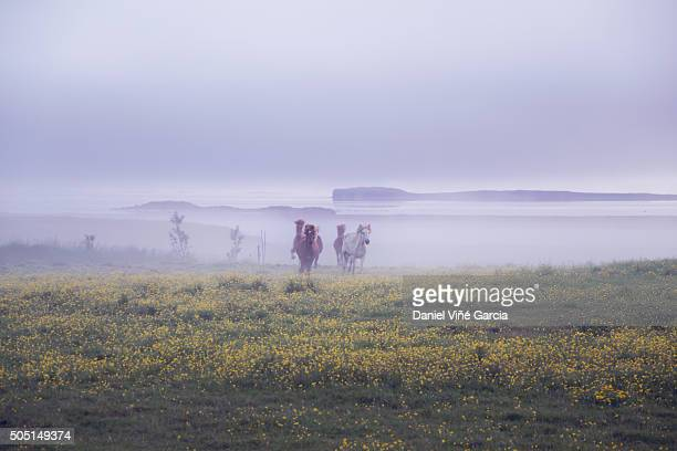 group of horses crossing a field. - husavik stock photos and pictures