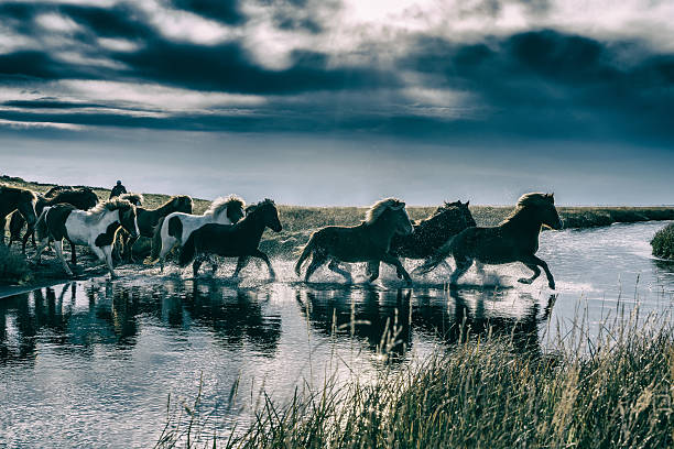 Group Of Horses Crossing A River. Wall Art