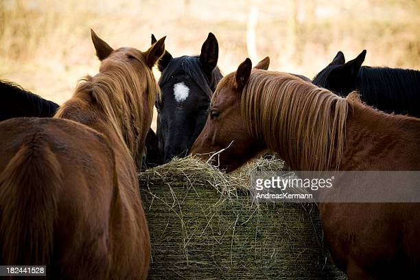 Group of horses eating hay at the same time