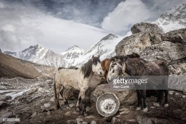 Group of horses huddling in the freezing cold at Mount Everest Basecamp