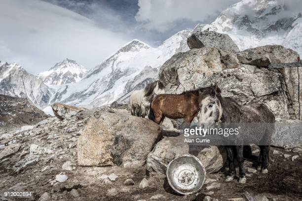Group of horses standing near Mount Everest base camp
