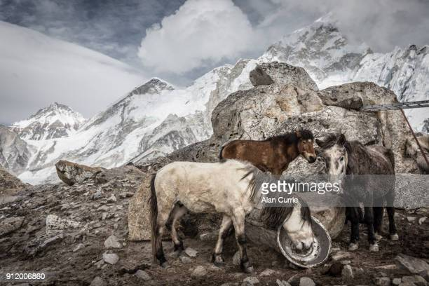 Group of horses standing together in cold near Mount Everest