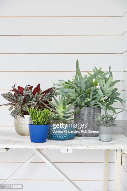 group of house plants in plant pots - begonia stock pictures, royalty-free photos & images