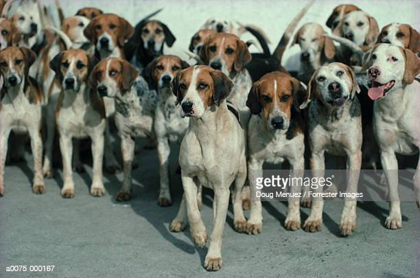 group of hunting dogs - pack of dogs stock pictures, royalty-free photos & images