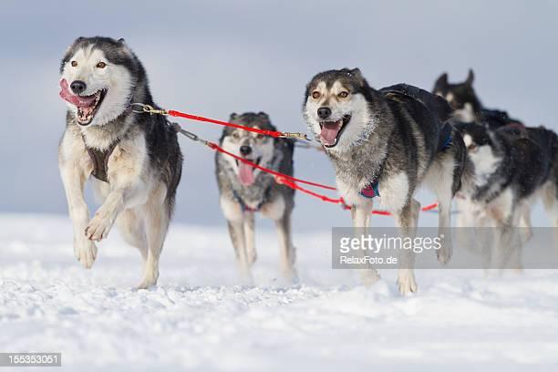 Gruppe von husky Schlitten Hunde Laufen im Schnee (XXL