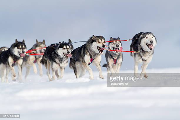 Group of husky sled dogs running in snow