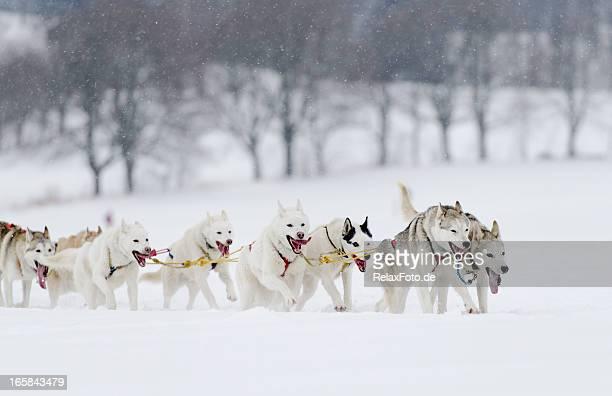 Gruppe von husky Schlitten Hunde Laufen im Schnee