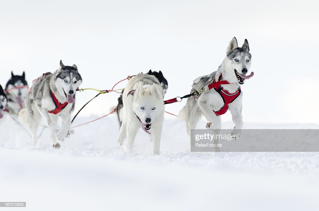 Group of husky sled dogs running in snow : Stock Photo