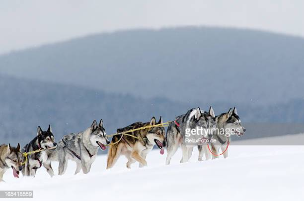 Group of husky sled dogs running uphill in snow