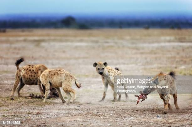 group of hyena with kill in amboseli, kenya - hyena stock pictures, royalty-free photos & images