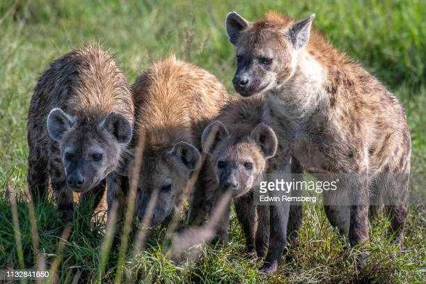 group of hyenas - hyena stock pictures, royalty-free photos & images