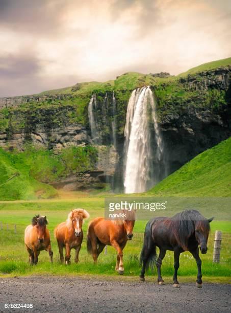 Group of icelandic horses at Seljalandsfoss waterfall