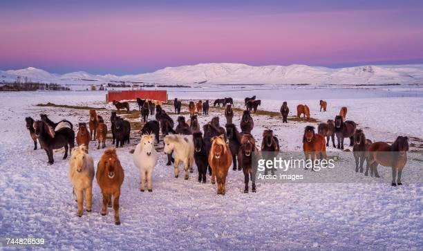 Group of Icelandic Horses looking at the camera on a farm in the Horgardulur valley in Northern Iceland. This image is shot with a drone.