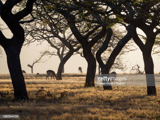 group of impala antelope grazing between old trees, swaziland, africa - swaziland fotografías e imágenes de stock