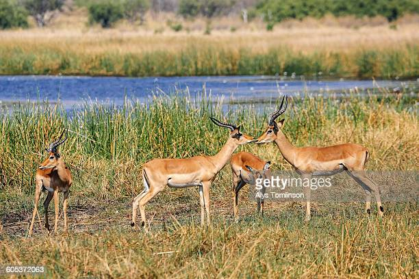 Group of impala, Botswana