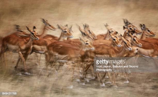 Group of Impala in Motion Blur at Masai Mara, Kenya