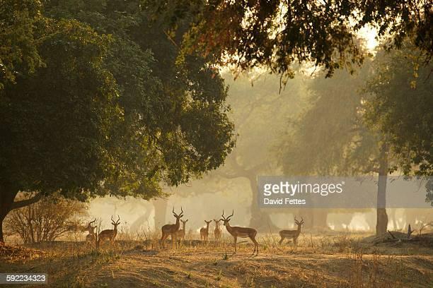 Group of Impala (Aepyceros melampus), Mana Pools National Park, Zimbabwe