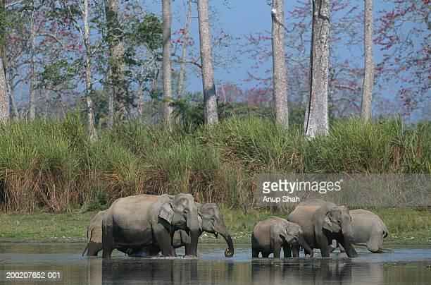 group of indian elephants (elephas maximus) in water, kazaringan n.p, india - kaziranga national park stock pictures, royalty-free photos & images
