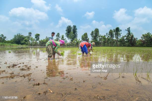 group of indian village farmers working in a paddy field - uttarakhand stock pictures, royalty-free photos & images