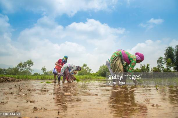 group of indian village farmers working in a paddy field - indian culture stock pictures, royalty-free photos & images