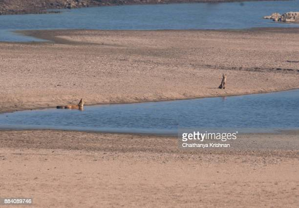 A group of Indian wild dog aka dhole relaxing on the river bed of pench river during a wildlife safari