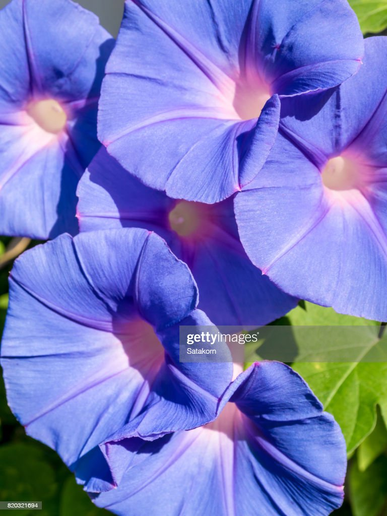 Group Of Ivy Flowers Purple Flowers Stock Photo Getty Images