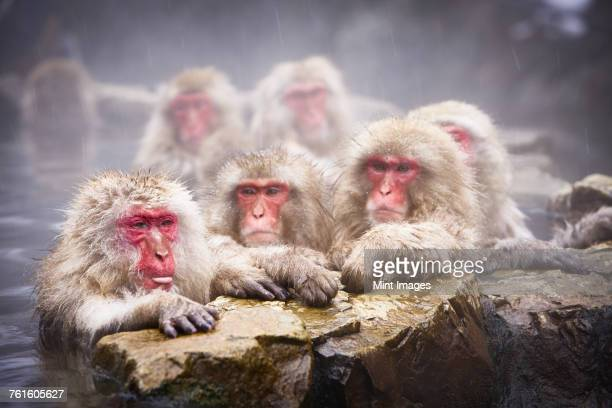 Group of Japanese Macaque, Snow Monkey, Macaca fuscata, bathing in hot spring.