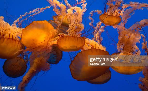 A group of jellyfish at Monterey Bay Aquarium located at Cannery Row two hours south of San Francisco swim through a tank in jellies section of 'The...