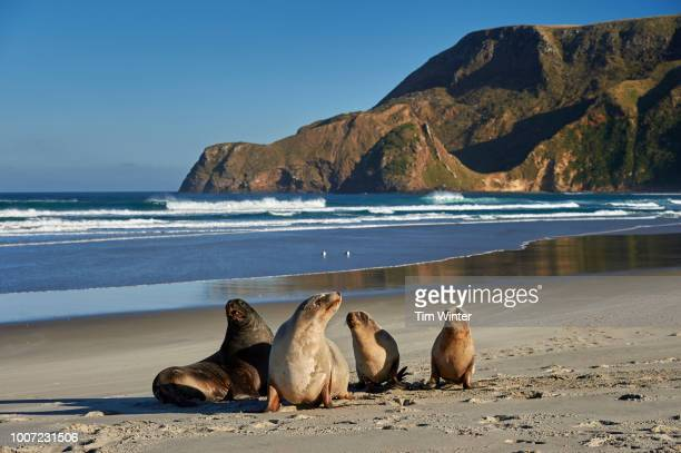a group of juvenile new zealand sea lions (hooker's sea lions) at allans beach, otago peninsula, otago, south island, new zealand, pacific - otago stock pictures, royalty-free photos & images
