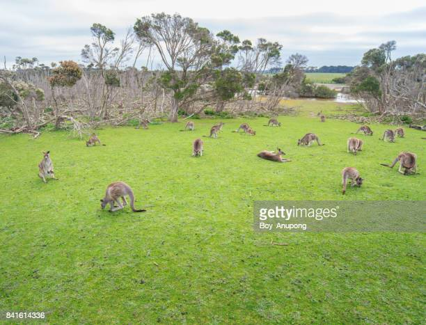 Group of Kangaroos in Phillip Island conservation park, Australia.