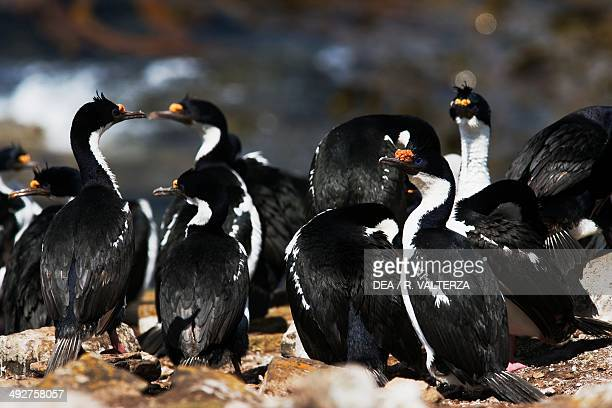 Group of King cormorants , Phalacrocoracidae, north-east coast of Pebble Island, Falkland or Malvinas Islands .