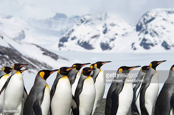 a group of king penguins, aptenodytes patagonicus, on south georgia island. - king penguin stock pictures, royalty-free photos & images