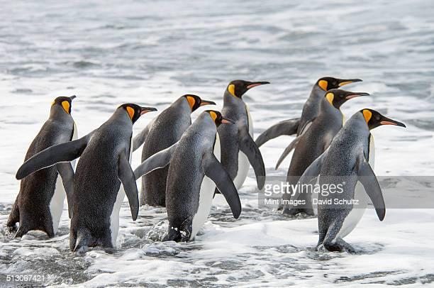 a group of king penguins, aptenodytes patagonicus on south georgia island. - weddell sea - fotografias e filmes do acervo