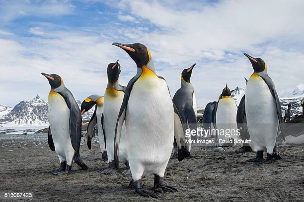 a group of king penguins, aptenodytes patagonicus on south georgia island. - koningspinguïn stockfoto's en -beelden