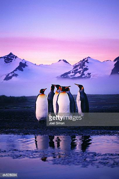 group of king penguins at sunset - koningspinguïn stockfoto's en -beelden