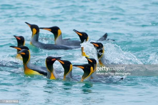 a group of king penguins swimming in the beach, in gold harbor, south georgia island - 南極海 ストックフォトと画像