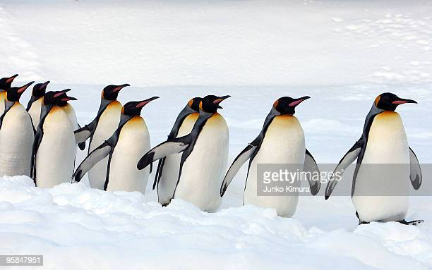 A group of King Penguins walk along a snowcovered path at Asahiyama Zoo on January 18 2010 in Asahikawa Japan The stroll is held every day to...