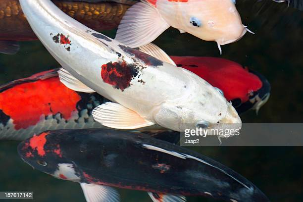 Group of Koi carp with differtent colors swimming in pond