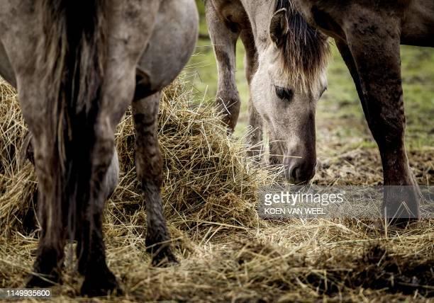 A group of Konik horses or Polish primitive horses is pictured in their enclosure at the Oostvaardersplassen nature reserve in Lelystad on June 14...