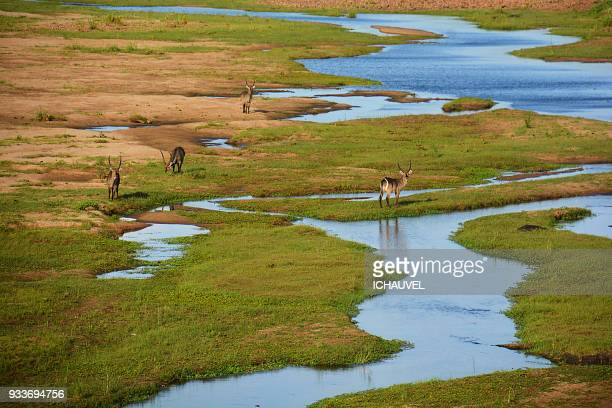 group of kudus south africa - kruger national park stock pictures, royalty-free photos & images